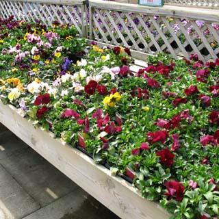 cornwall-roseland-peninsula-gardeningmatters1
