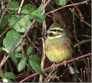 Male cirl bunting by Steve Hopper