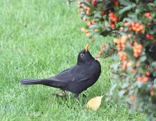 redpyracantha-blackbird