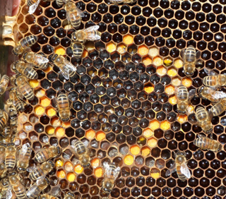 honeybee-eggs-larvae-1024x903