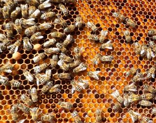 honeybee-pollen-1024x811