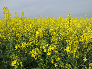 rapsfeld_oilseed_rape_may