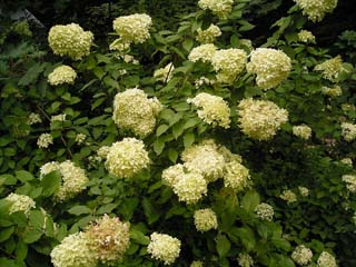 Hydrangeapaniculata
