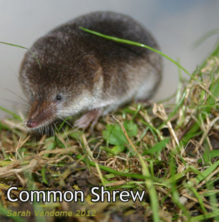 commonshrew