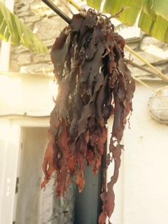 dulse seaweed drying