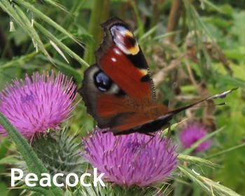 cornwall-roseland-butterflies-1
