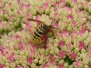 cornwall-roselandpeninsula-bee-mania3