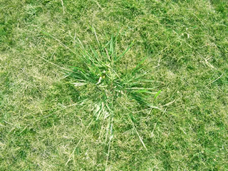 perennial-weeds