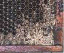 SHB Larvae
