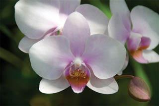 mothorchid