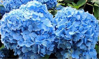 bluemophydrangers