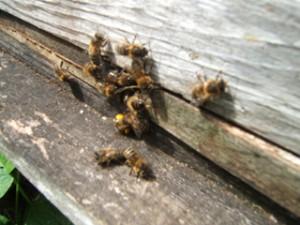 Bee-ManiaSept2014-4