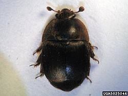 Small_hive_beetle_adult