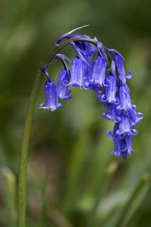 English bluebells2