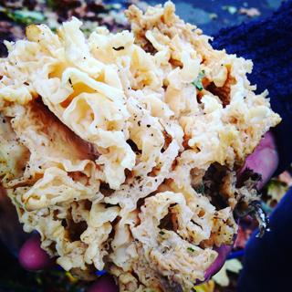 cauliflower-fungus